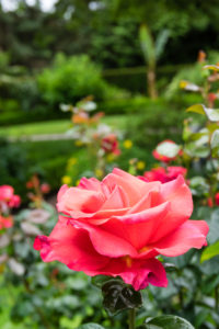 rose in the garden, West Chester, Ohio