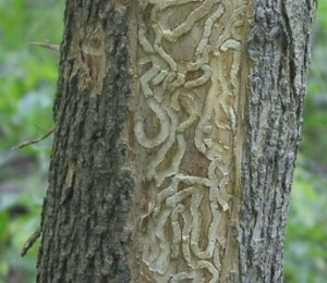 Emerald Ash Borer in Ash Tree in Cincinnati, Ohio