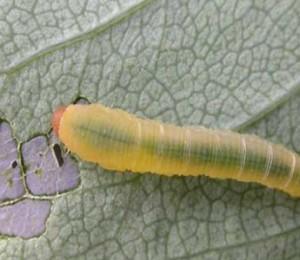 rose slug leaving holes in rose leaf