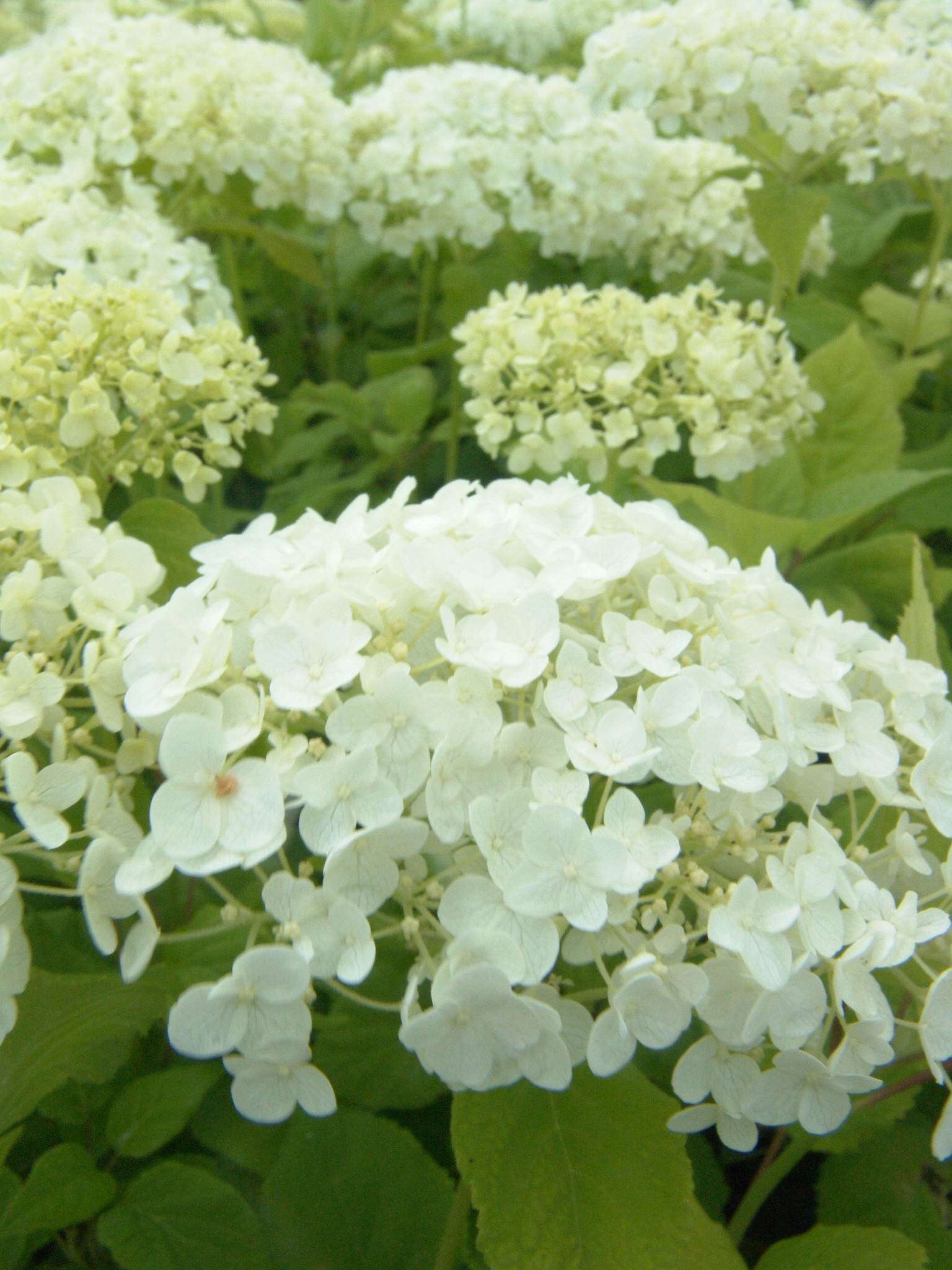 how to prune and care for hydrangeas natorps. Black Bedroom Furniture Sets. Home Design Ideas