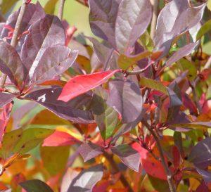 Black Gum Tree in Cincinnati, Ohio