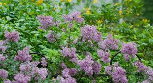 blooming lilac in mason, ohio
