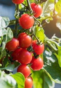 tomatoes in garden in Cincinnati, Ohio