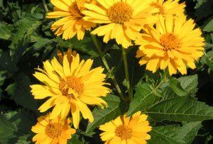 False Sunflower, heliopsis