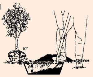 planting new trees in Cincinnati, Ohio