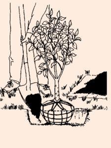 Planting Tree Sapling