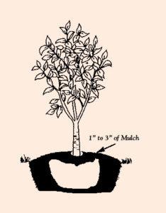 Planted Tree Sapling