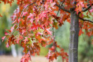 Scarlet Oak in Cincinnati, Ohio