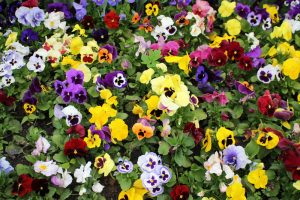 Pansies in garden in West Chester, Ohio