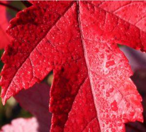 Redpointe Maple Tree in Cincinnati, Ohio