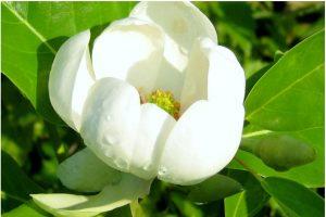 Sweetbay Magnolia Tree in Cincinnati, Ohio