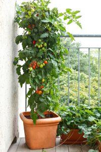 tomato container garden in Cincinnati, Ohio